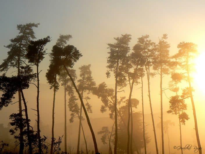 Arbres dans la brume et le soleil du matin