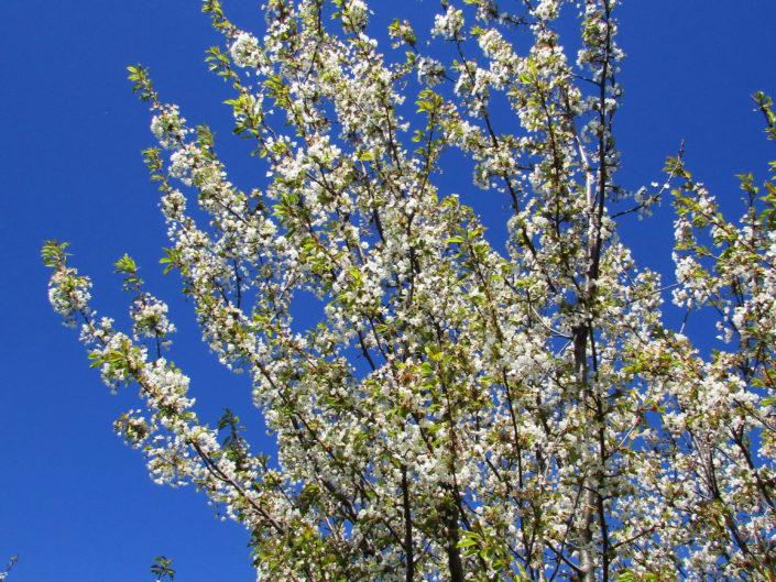 Cerisiers printanier