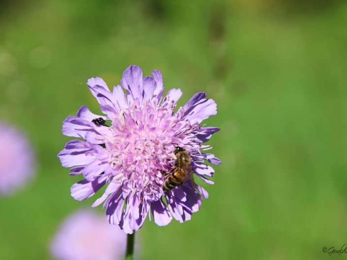 Abeille butinant fleur de ciboulette