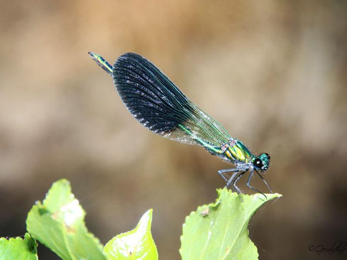 Caloptéryx éclatant ou libellule bleue