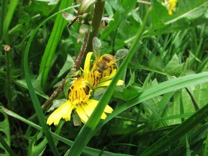 L'abeille couvert de pollen