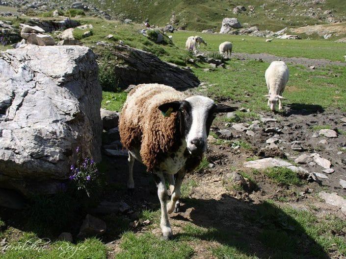 Moutons dans la plaine deTroumouse