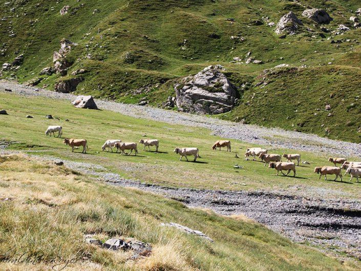 Vaches en estive à Troumouse
