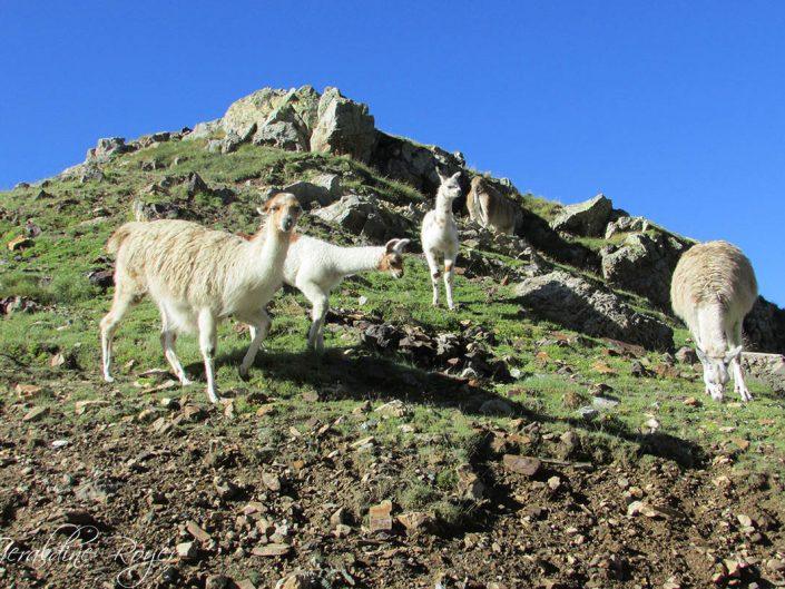 Un groupe de lamas pyrénéen