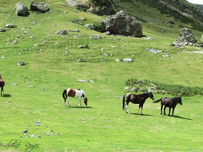 Des chevaux en estive