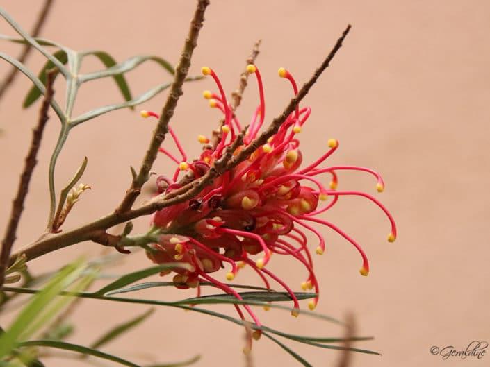 Grevillea Banksii forsteri ou Grevillaire rouge