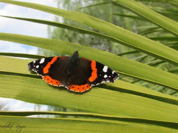 papillon borne-les-mimosas