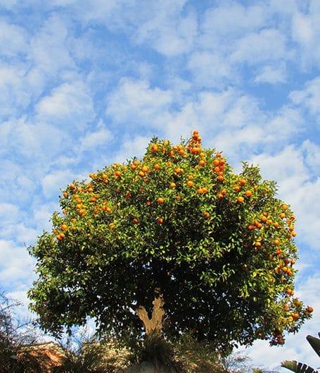 oranger borne-les-mimosas
