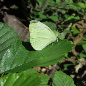 Papillon le Citron