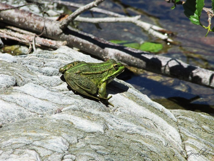 Une grenouille verte