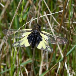 Libelloides coccajus (Ascalaphe soufré)