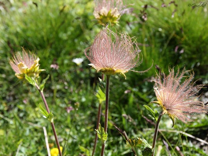 Fleurs des Hautes Alpes