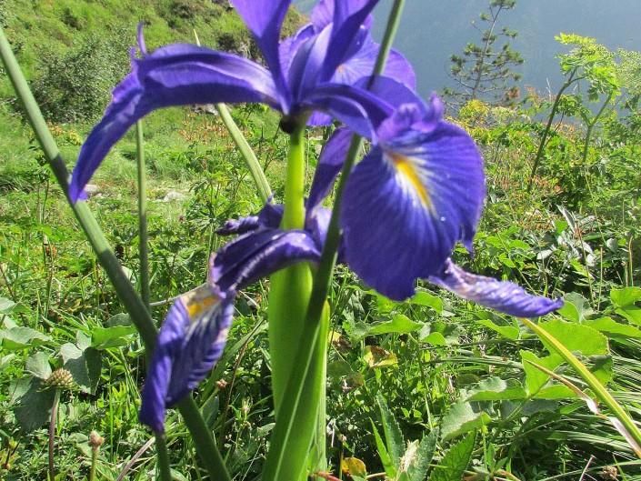 Iris croisé en chemin
