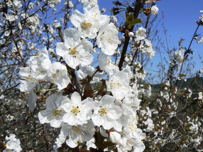 Bouquet fleurs de Cerisier
