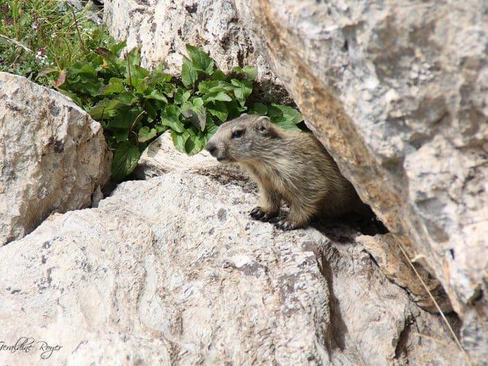 Une marmotte dans la vallée du Queyras