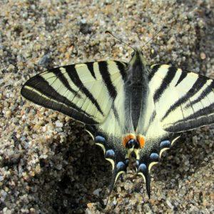 Le Flambé (papillon)