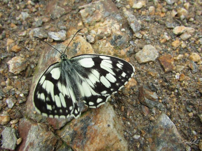 Papillon noir et blanc demi-deuil