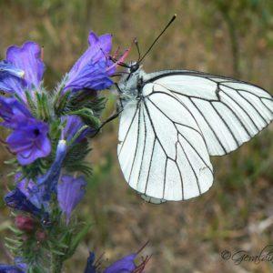 Papillon blanc veiné-noir