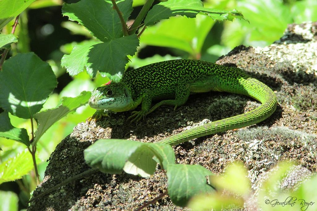 Un lézard vert