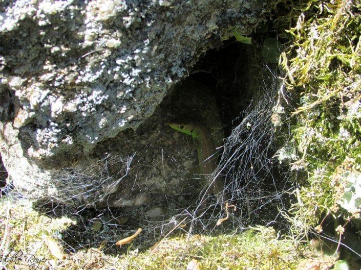 lezard vert à l'ombre des pierres